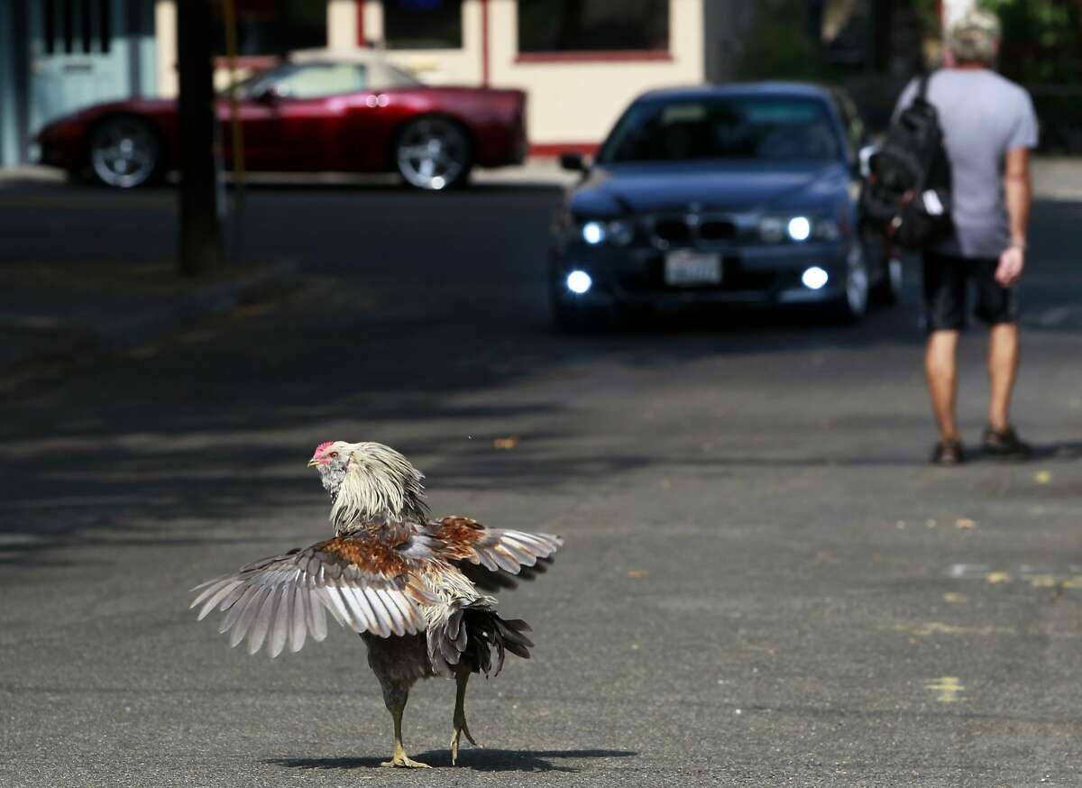A feral chicken ruffles its feathers while crossing a road near Village Park in Fair Oaks, Calif. on Wednesday, July 30, 2014. Roving bands of hens and roosters have had the run of the town for decades where residents either love them or hate them.