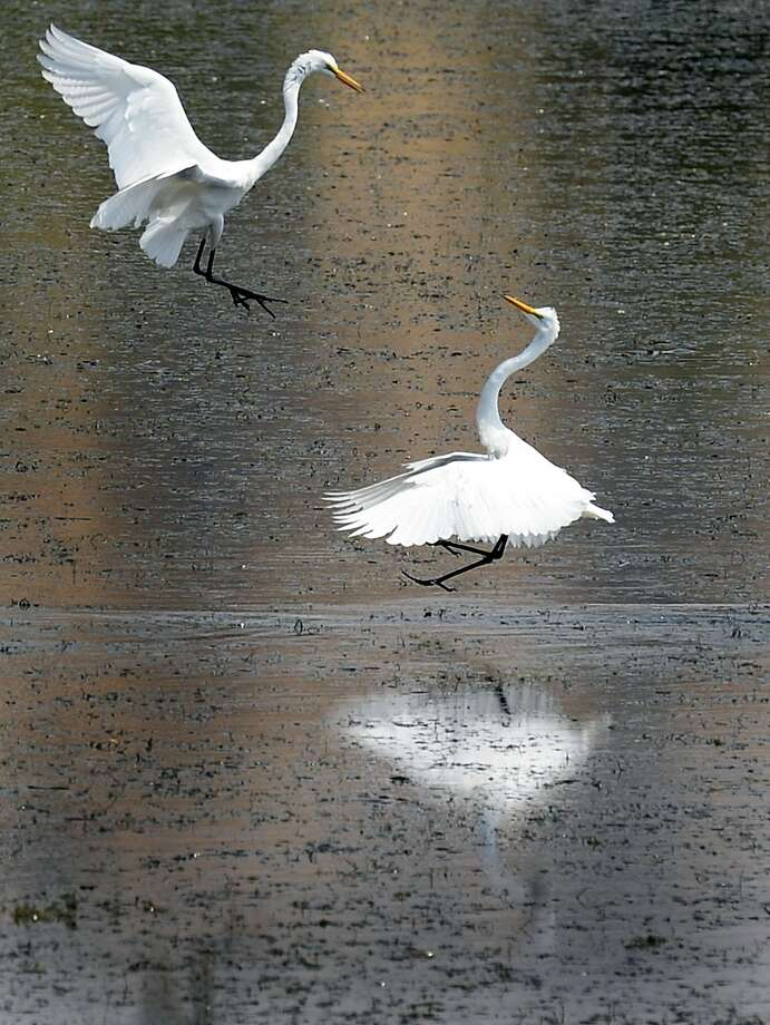 A row in the reservoir:A pair of great egrets tussle over the same spot while foraging for food in the shallows of 