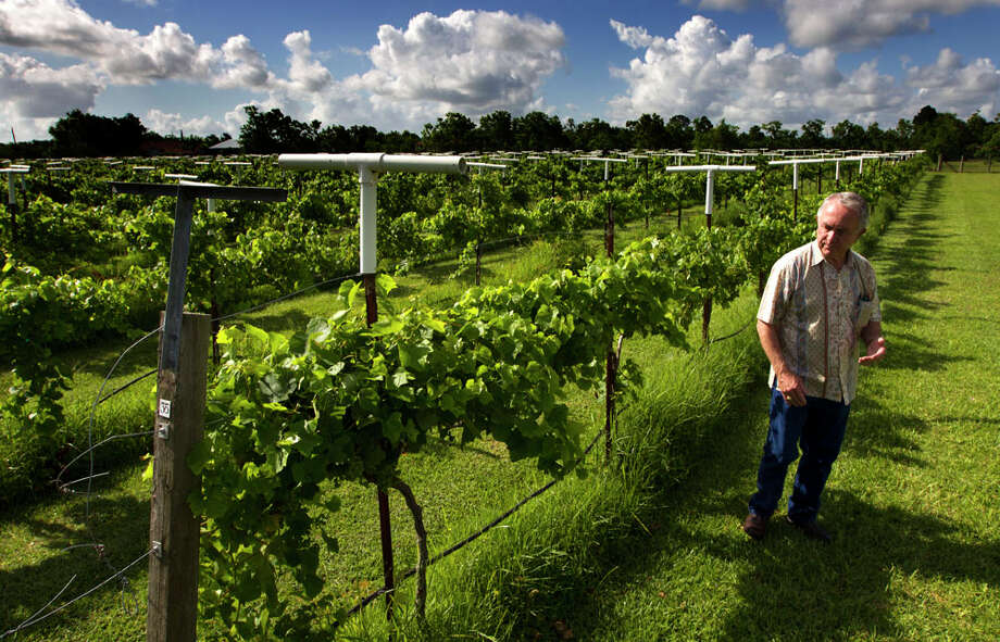 Raymond Haak inspects the grapevines at the Haak Winery. The vineyard is celebrating its founder's 75th birthday with a Titanic-themed wine dinner. Photo: J. Patric Schneider, For The Houston Chronicle / © 2013 Houston Chronicle