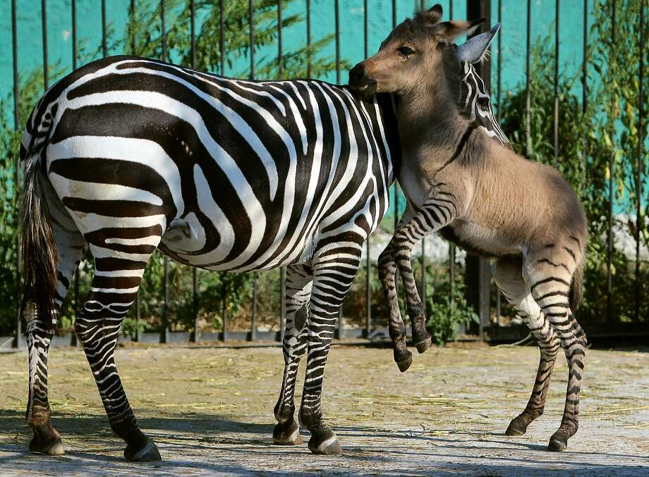Telegraph has more dashes than dots:A week-old zonkey (donkey-zebra hybrid ) named Telegraph kicks up his forelegs as he plays with his mother at the Taigan Zoo outside Simferopol, Crimea. Allowing such cross-breeding is frowned upon in the zoo community. A Moscow Zoo spokeswoman  called the practice unjustified and unscientific. Photo: Yuri Lashov, AFP/Getty Images