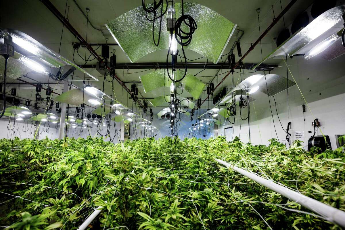 Views of a grow operation inside of Seattle-based Db3 Corporation's 25,000 square-foot facility Thursday, Aug. 7, 2014, in Seattle, Wash. Db3 was the first company in the state to produce and process marijuana-infused edible products, such as baked goods, chews, energy drinks and drink additives - all under the brand name