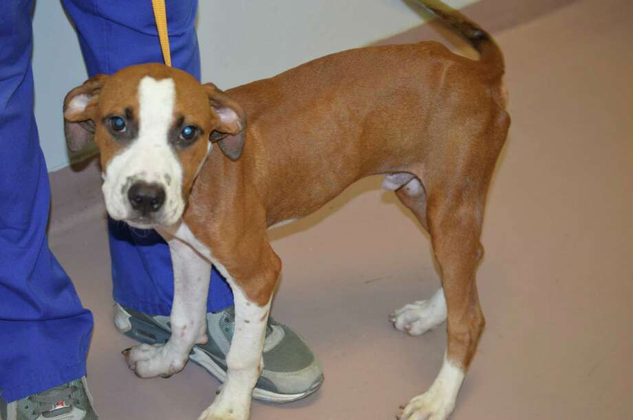 Gordon, a 4-month-old boxer/hound mix, was adopted just one week after the Houston SPCA's 24-hour rescue team freed him July 31, 2014, from a sewer drain. Although a bit underweight, he is happy and playful, an SPCA spokeswoman said. Photo: Houston SPCA