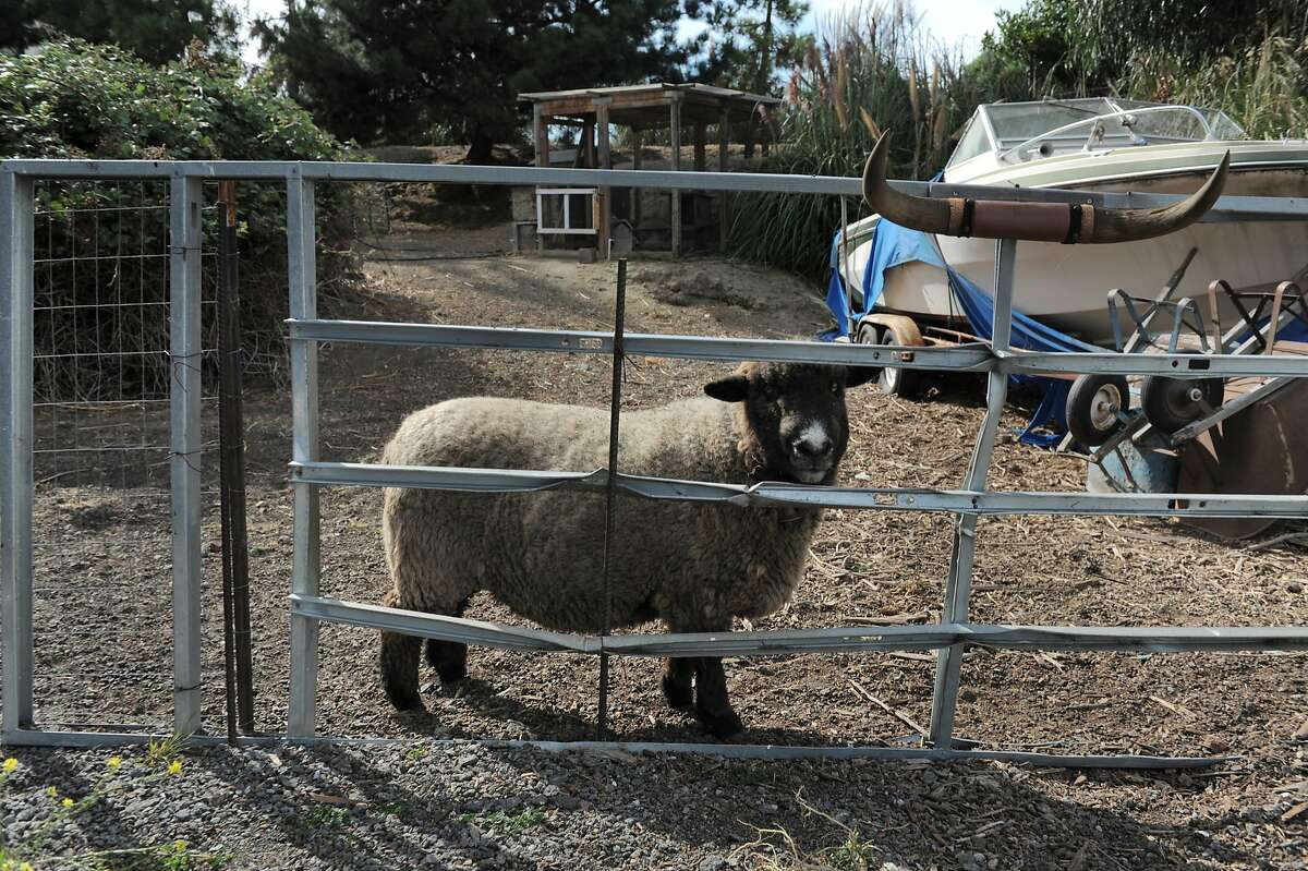 Shaun the sheep poses for a portrait on the property of longtime India Basin resident Michael Hamman on August 04, 2014 in San Francisco, CA. India Basin is the largest remaining privately owned development site in the city. The Build Group is proposing to develop the 14 acre waterfront property with 900 housing units.