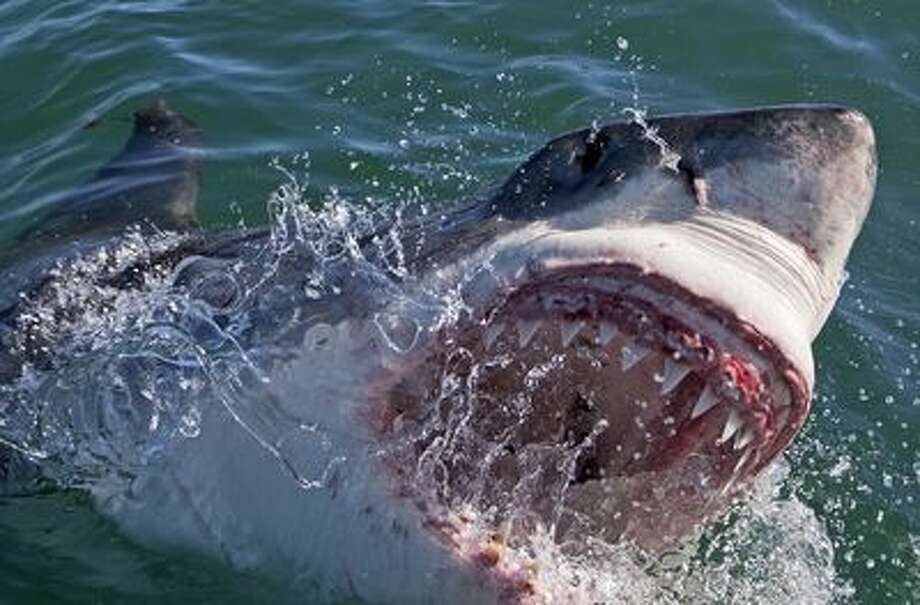 A Great White shark coming out of the water biting while searching for Colossus in South Africa.