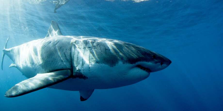1. Species name: Carcharodon carchariasCommon name: WhiteNon-fatal attacks: 201Fatal attacks: 78 Photo: Andy Brandy Casagrande, Discovery Channel
