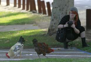 Rhiannon Bow moves in to take photos of feral chickens on the loose at Village Park in Fair Oaks, Calif. on Wednesday, July 30, 2014. Roving bands of hens and roosters have had the run of the town for decades where residents either love them or hate them.
