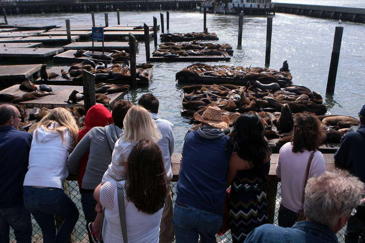 Tourists gaze at the famous sea lions of Pier 39 on Thursday, August 7, 2014 in San Francisco, Calif. Many sea lions have returned to the Pier 39 docks after mysteriously vanishing earlier this year.