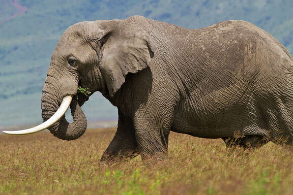 The ivory tusks of an African elephant are extensions of upper incisors that grow throughout life.  Photo Credit:  Kathy Adams Clark.  Restricted use.