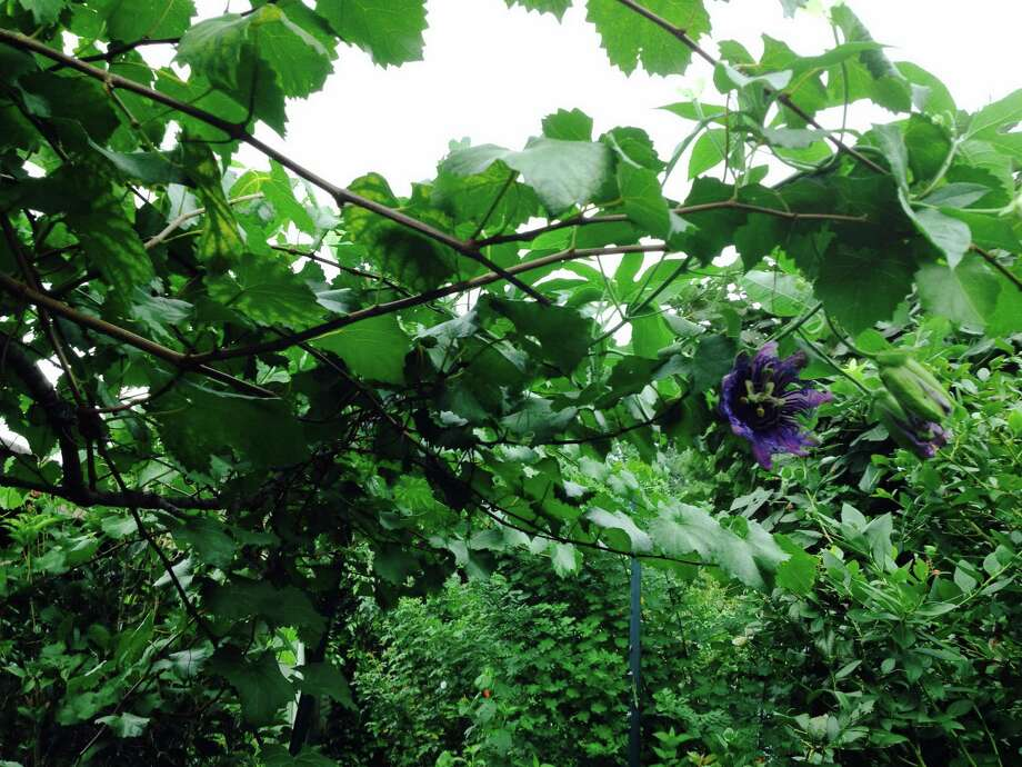A vine like this Incense Passion Vine can be trellised on to a Grape that fruits earlier than the Passion Vine blooms. The passion vine  is also a butterfly incubator, and both vines shade house walls in summer.