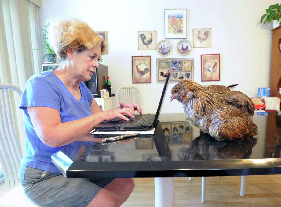 "With her Araucana chicken, Ricki, seated on her kitchen table, Kathy Augustin, works on her laptop computer in her home at Augustine's Farm in Greenwich, Conn., Friday morning, Aug. 8, 2014. Kathy Augustin said the chicken sustained some type of injury about a year ago and she nursed it back to health. Augustin said ""now Ricki thinks I am its mother and follows me everywhere and that is fine by me."" Kathy owns the farm with her husband, John Augustin. Photo: Bob Luckey / Greenwich Time"