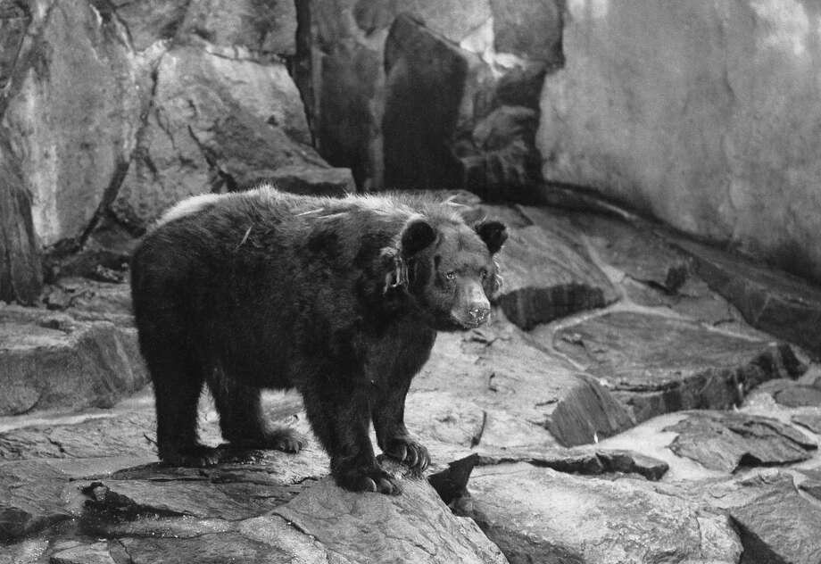 The original Smokey Bear, symbol of forest fire prevention, at the National Zoo in Washington, D.C. Photo: Associated Press