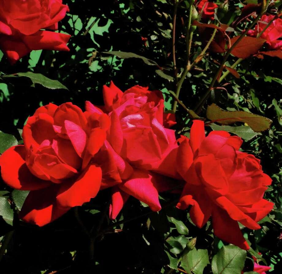 Knockout rose / San Antonio Express-News
