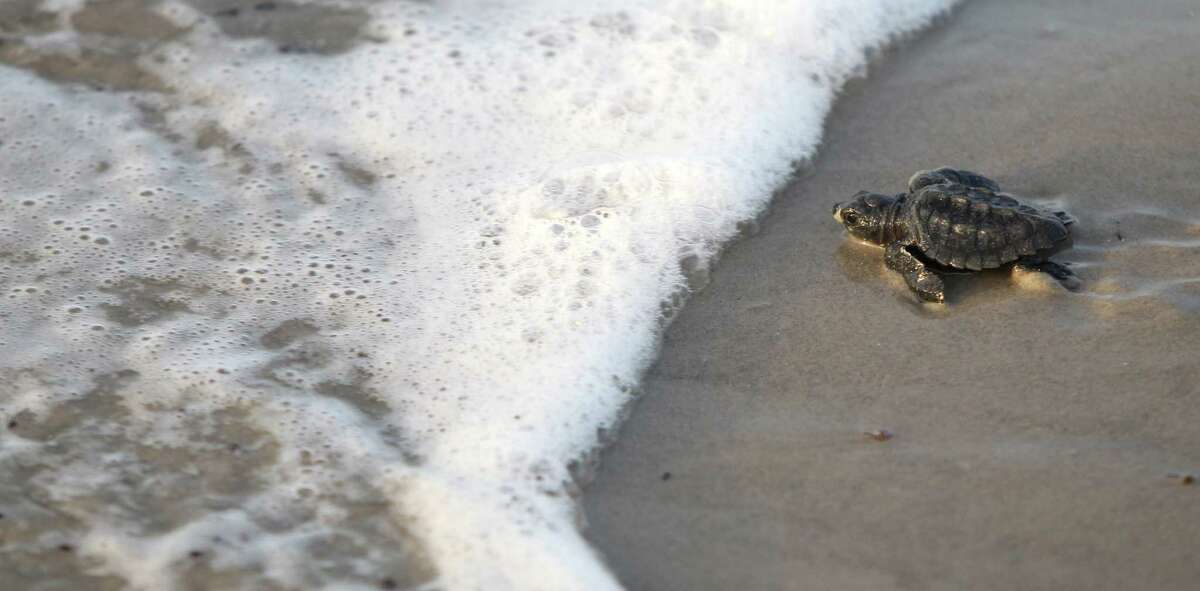 A total of 98 Kemp's ridley sea turtle hatchlings were released from a nest discovered April 27.