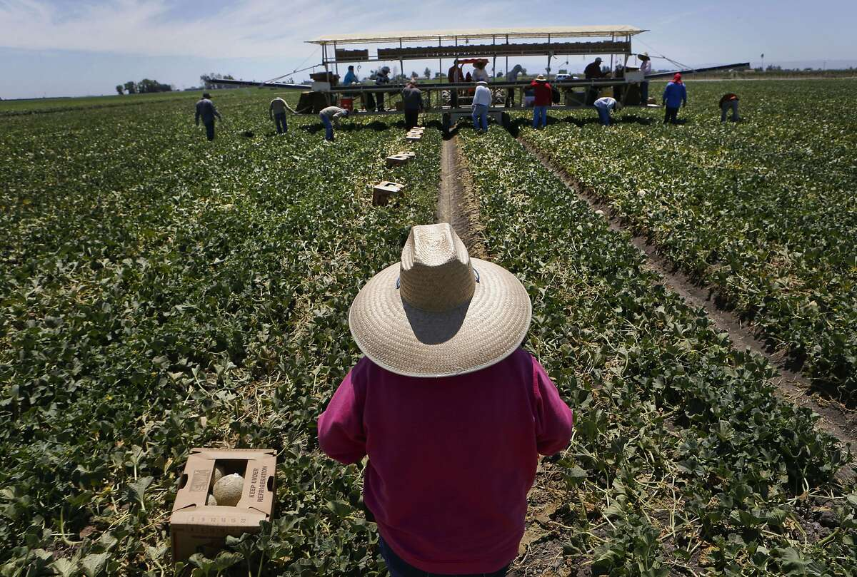 Workers harvest cantaloupes from the fields of Von Allman Farms, one of the San Joaquin River Exchange contractors, as seen on Friday July 25, 2014, near Firebaugh, Calif. The San Joaquin River Exchange Contractors receive a huge percentage of the water exported from the Bay-Delta by the State Water Project and the federal Central Valley Project based on a sweetheart deal made by the Bureau of Reclamation in exchange for building the Friant Dam in 1940.