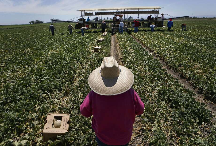 Workers harvest cantaloupe at Von Allman Farms, one of the longtime growers who receive water via a venerable seniority system. Photo: Michael Macor, The Chronicle