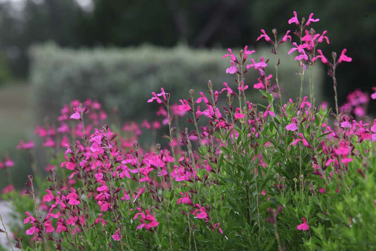 Autumn sage is among the shade-tolerant plants for the SAWS Fall 2014 WaterSaver Landscape Coupon.