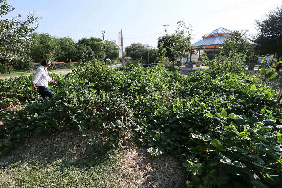 Garden stewards Bea Caraway walks through berms planted with black-eyed peas, sweet potatos and fruit trees in the Olmos Park Terrace Community Garden. Photo: MARVIN PFEIFFER, Marvin Pfeiffer / Express-News / Express-News 2014