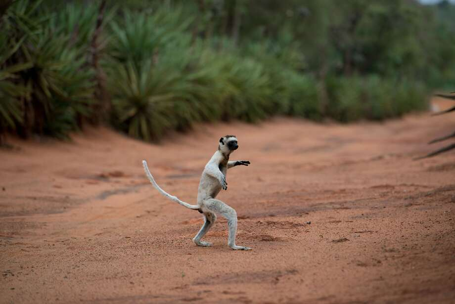 """The Imax documentary """"Island of Lemurs,"""" narrated by Morgan Freeman, looks at the endangered animals of Madagascar. The film opens Friday. Photo: Warner Bros."""