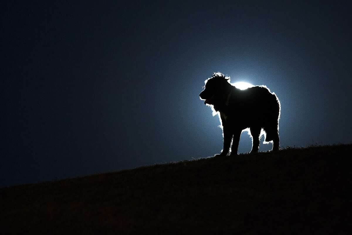 """A dog stands against the perigee moon, also known as a supermoon, in Madrid, Sunday, Aug. 10, 2014. The phenomenon, which scientists call a """"perigee moon,"""" occurs when the moon is near the horizon and appears larger and brighter than other full moons. (AP Photo/Andres Kudacki)"""
