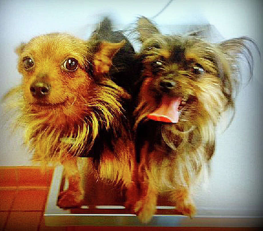 The Save Our Strays animal welfare agency is looking for a home for Donald and Daisy - two teacup Yorkshire terriers found wandering together. Photo: Contributed Photo / Westport News