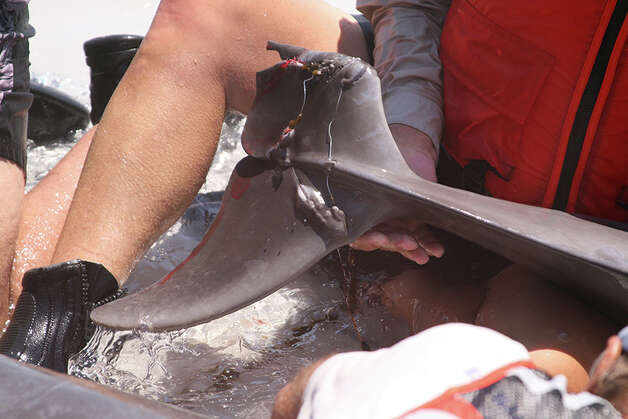 A multi-agency crew freed a dolphin calf that was entangled in fishing line near Destin, Fla., Aug. 11, 2014. (Photo: NOAA - permit no. 932-1905-01/MA-009526-01) Photo: Unknown, Okaloosa Sheriff, NOAA