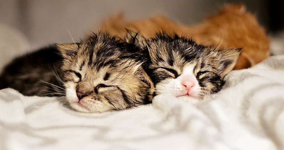 The catnap:This is a very light nap where you are in and out. Contrary to some views, a dream in which you are playing with a ball of yarn does not constitute a cat nap. Photo: Liina Novy, San Antonio Pets Alive! / Copyright © 2014 Liina Novy
