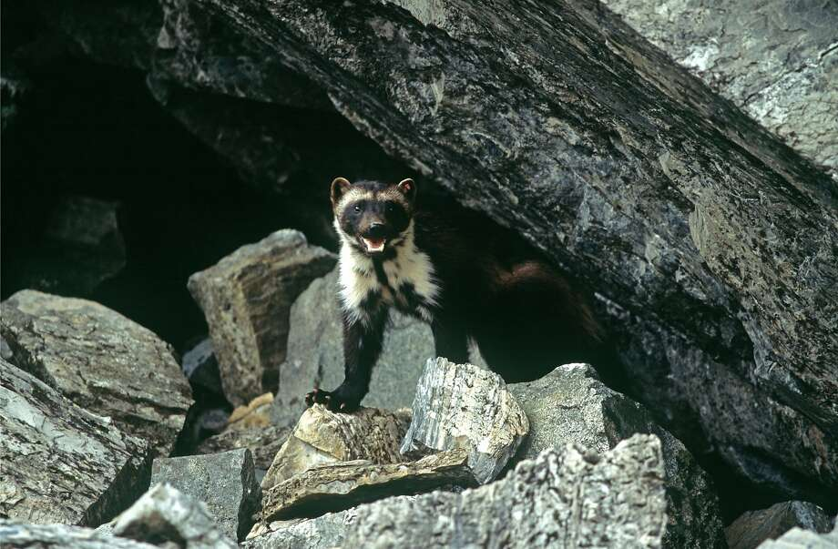 Officials from states including Montana, Wyoming, Utah and Idaho had opposed federal protection for wolverines, saying the population has increased in some areas in recent decades. Photo: Ken Curtis, Associated Press