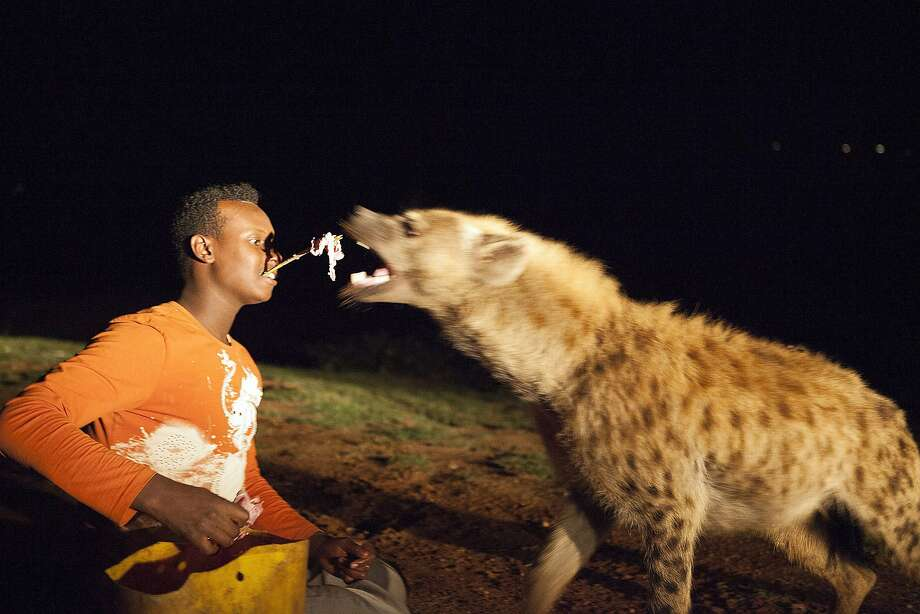 Care for a kebab? Abass Yusuf feeds a hyena at a zoo in Harar, 