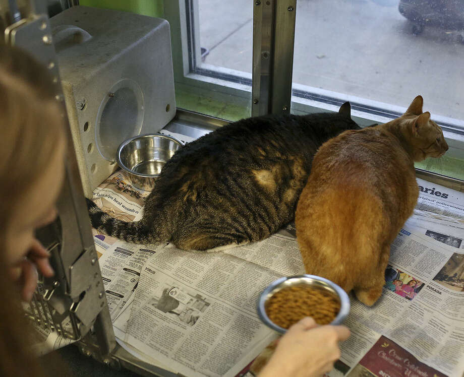 Two cats are fed by a staff member of Animal Care Services in San Antonio. A reader says that no-kill policies are more complicated than people think. Photo: Lisa Krantz, SAN ANTONIO EXPRESS-NEWS / SAN ANTONIO EXPRESS-NEWS