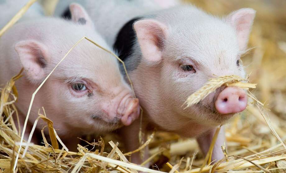 The mustache sure makes you look debonaire: But I think it's supposed to be under your nose, not over it. (Baby miniature pigs at the zoo in Hanover, Germany.) Photo: Julian Stratenschulte, AFP/Getty Images