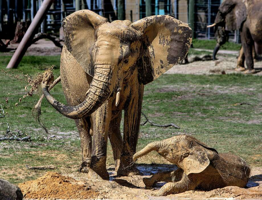 "Lowry Park Zoo elephants Matjeka, 23, and her 1-year-old daughter, Mavi, apply a liberal coating of ""sunscreen""  to themselves in a clay mud wallow at the park Tuesday, Aug. 12, 2014, in Tampa, Fla., on the park's first observation of World Elephant Day to raise awareness of the wild African elephant crisis. ""Elephants are prone to being sunburned,"" said associate curator Chris Massaro.""What they need is lot of mud or clay to roll around in and cover up their skin so it will protect it from the sun."" (AP Photo/The Tampa Bay Times, Cherie Diez) Photo: Cherie Diez, Associated Press"