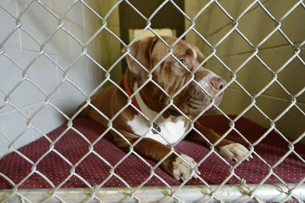 Tyson, who was surrendered by the McKearn family August 7, peers out its holding pen Inside Schenectady's animal shelter Tuesday, Aug. 12, 2014, located at the city sewage treatment plant on Technology Dr. in Schenectady, N.Y. The French mastiff is being held for attacking and killing a smaller dog.  (Will Waldron/Times Union) Photo: WW / 00028143A
