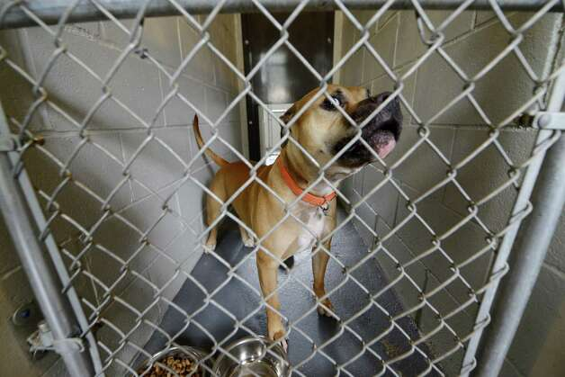 Vick, who was surrendered by the McKearn family August 7, peers out his holding pen Inside Schenectady's animal shelter Tuesday, Aug. 12, 2014, located at the city sewage treatment plant on Technology Dr. in Schenectady, N.Y. The Staffordshire terrier is being held for attacking and killing a smaller dog.  (Will Waldron/Times Union) Photo: WW / 00028143A