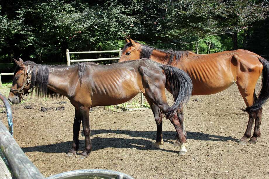 These horses named Chinook and Cheyenne have been  taken from the Lind-Larsen property in Redding, Conn. by State Animal Control Agents. Photo contributed by the State Department of Animal Control. August 2014 Photo: Contributed Photo / The News-Times Contributed