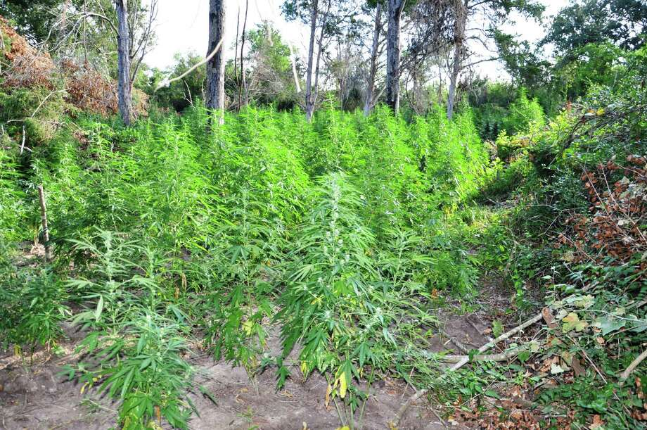 This is the sixth marijuana growing operation shut down in Washington County since January 2013, according to a press release from the Washington County Sheriff's Office. Photo: Courtesy Of Washington County Sheriff's Office