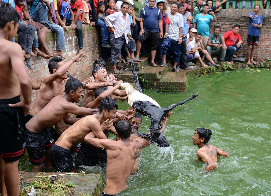 Ritual rewards cruelty: Nepalese men wrestle over a goat during an ancient Hindu festival ritual in Khokana village outside Katmandu. In the ritual, a sacrificial female baby goat is thrown into a pond followed by teams of  local men who attempt to kill it. Whichever team is successful supposedly will have a prosperous year ahead. Photo: Prakash Mathema, AFP/Getty Images