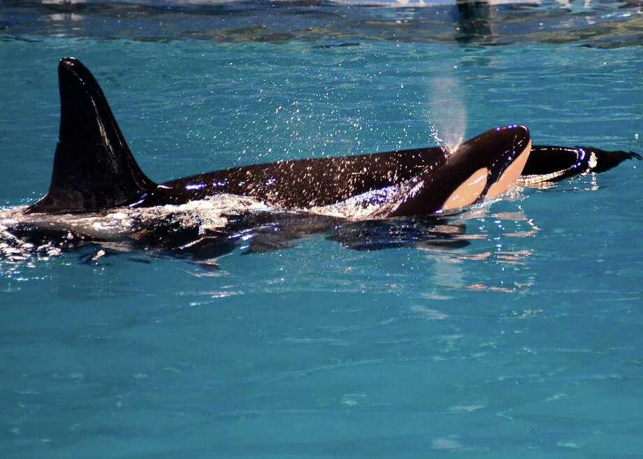 Takara, a killer whale, gave birth at SeaWorld. Treatment of whales has generated debate. / COURTESY OF SEA WORLD SAN ANTONIO