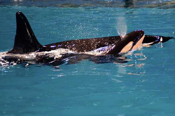 Takara, a killer whale, gave birth at SeaWorld. Treatment of whales has generated debate.