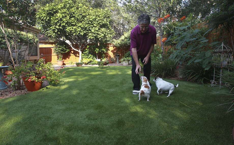 Bill Fenstermacher plays with his Chihuahuas on artificial turf that was installed in his yard in place of grass this spring. Fenstermacher says caring for the turf is easy. Photo: Photos By John Davenport / Express-News / ©San Antonio Express-News/John Davenport