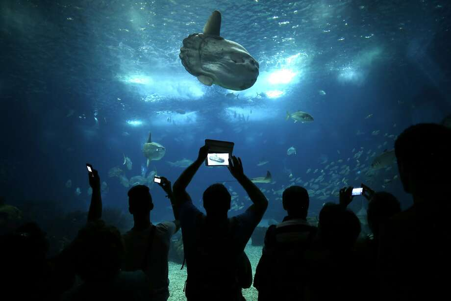 People take photographs in the main tank of the Oceanarium of Lisbon, Wednesday, Aug. 13, 2014. The oceanarium opened in 1998 during the World Fair, displays different aquatic fauna species from the five oceans in the world. (AP Photo/Francisco Seco) Photo: Francisco Seco, Associated Press