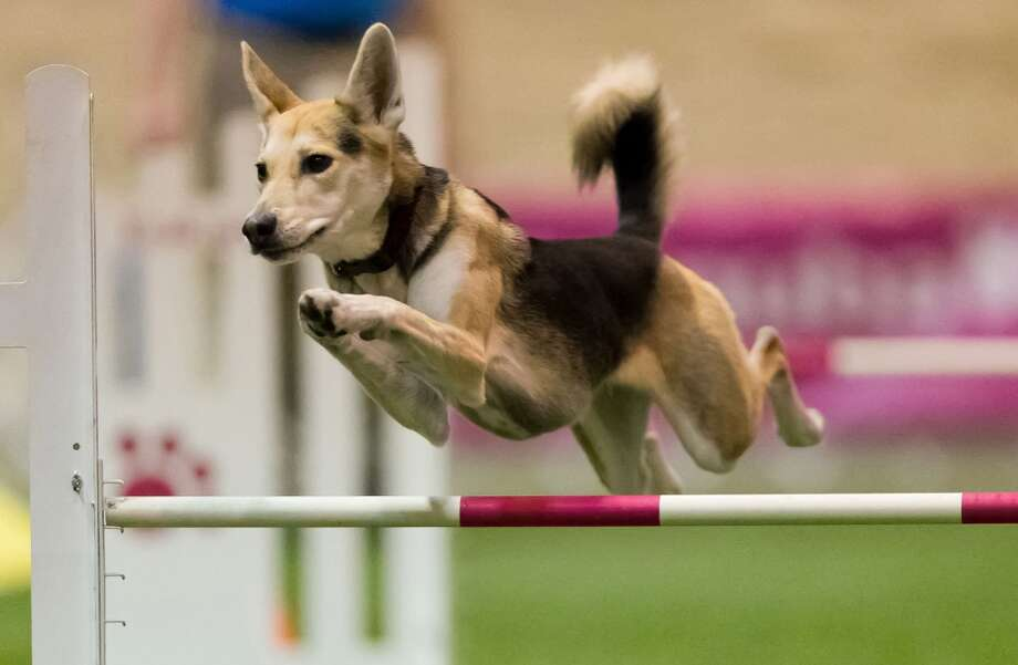 9. THAT RACE WITH THE DOG HURDLES AND THE BALL: Tied for best halftime show ever, with the Pee-Wee Football kids. Gambling tip: Always bet on the dog that's built lowest to the ground. The black lab never wins. Photo: Amy Johnson, Associated Press