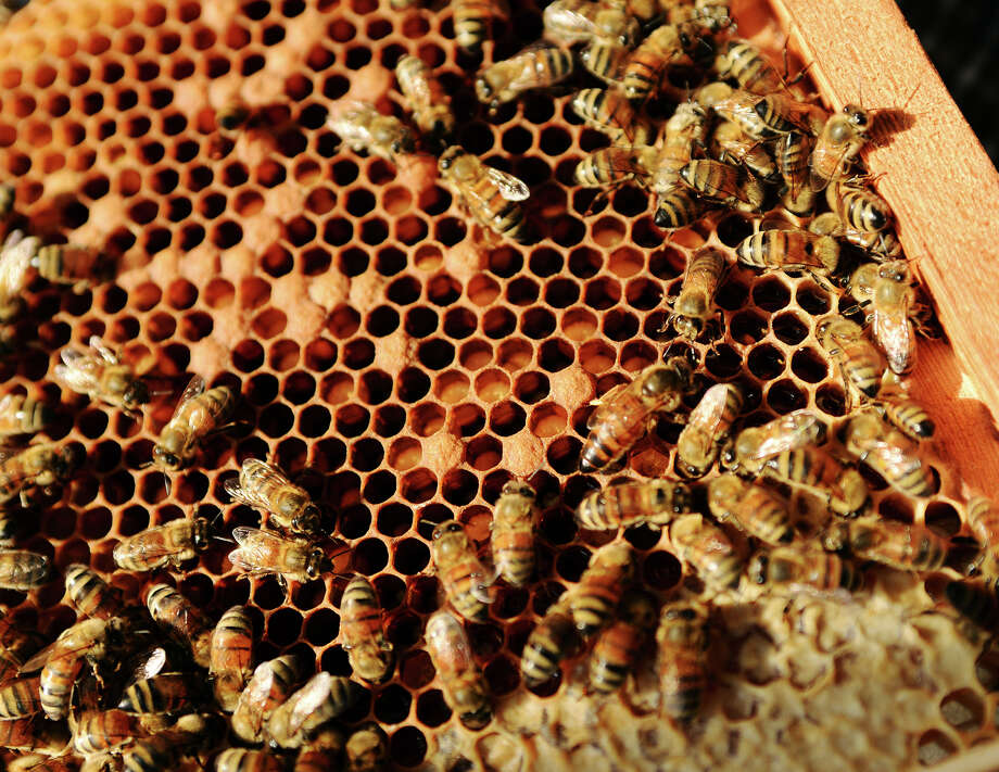 A queen spreads her scent around a small honeycomb at Muldrow Bee Farm on Saturday afternoon. Muldrow Bee Farm is working with the AgriLife extension office in Orange to facilitate a yearlong class in beekeeping. Photo taken Saturday 8/9/14 Jake Daniels/@JakeD_in_SETX Photo: Jake Daniels / ©2014 The Beaumont Enterprise/Jake Daniels