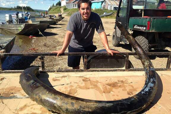 In this photo taken Sunday, Aug. 10, 2014, and provided by Andrew Harrelson, is Andrew Harrelson posing with a 12-foot fossilized tusk that he found in a bend of the Fish River near the village of White Mountain, about 63 miles east of Nome, Alaska.  Harrelson, who was having little luck catching salmon decided to look for fossils over the weekend and found a wooly mammoth tusk in the same Alaska location where his mother found one 22 years ago. Tusks of the extinct wooly mammoth range from 12,000 to 400,000 years old. (AP Photo/Andrew Harrelson)