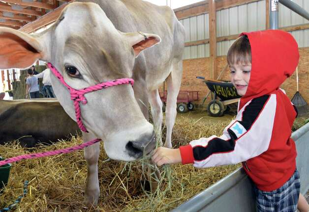 Will Duncan, 3, of Myrtle Beach feeds Cupcake, a Brown Swiss heifer, at the Altamont Fair Thursday August 14, 2014, in Altamont, NY.  (John Carl D'Annibale / Times Union) Photo: John Carl D'Annibale / 00028138A