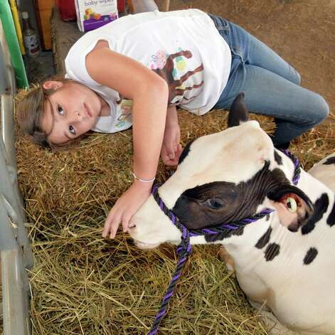 Alyssa Duff, 10, of Knox, tends to a holstein calf at the Altamont Fair Thursday August 14, 2014, in Altamont, NY.  (John Carl D'Annibale / Times Union) Photo: John Carl D'Annibale / 00028138A