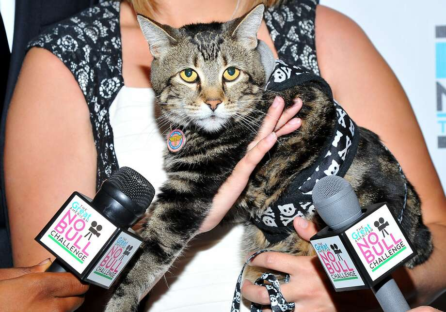 "The kitty-face-and-crossbones belt rocked red carpet: Tara, the YouTube sensation ""Hero Cat"" who saved a Southern California child from an attacking dog, attends No Bull 2014 Teen Video Awards in Los Angeles. Photo: Vince Bucci, Associated Press"