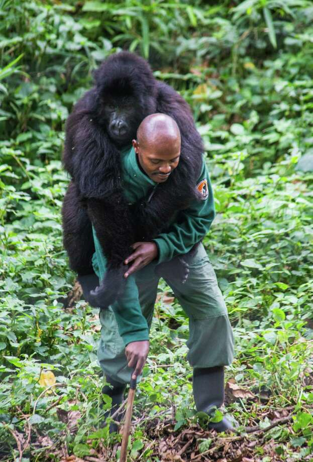 A ranger interacts with a mountain gorilla in Virunga National Park in the Democratic Republic of Congo. Photo: Amanda Jones / Special To The Chronicle / ONLINE_YES
