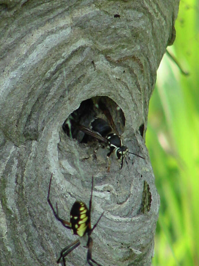 A paper wasp nest and some of its inhabitants are shown here. As both pollinators and predators, wasps are an important part of nature. Photo: Contributed Photo/Peter Bowden, Contributed Photo / The News-Times Contributed