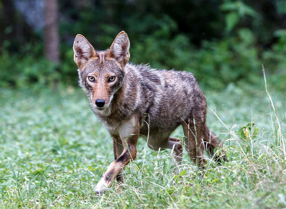 Some in Terrell Hills think coyotes, like this one seen in Shavano Park, are seeking food and water. Photo: San Antonio Express-News File Photo / Express-News 2013