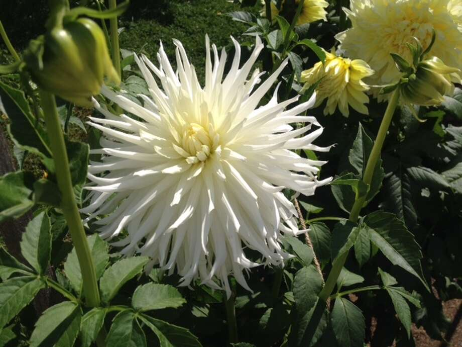 Tony Marzullo's Hy Mom white dahlia dazzled and was found to be 9-inches wide.